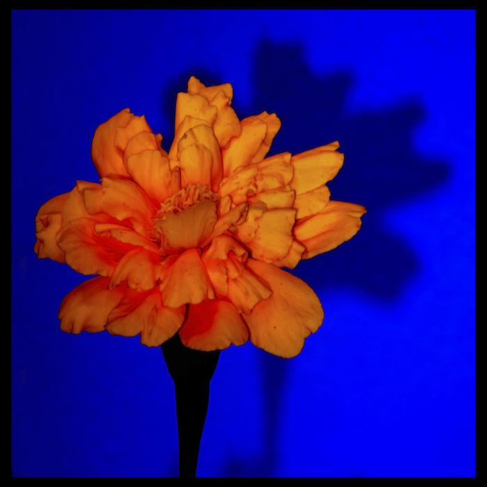 Marigold copy